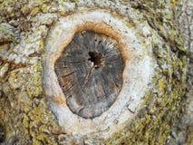 Δέντρο knothole 2 Στοκ Φωτογραφία