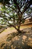 Δέντρο Leelawadee Plumeria Στοκ εικόνες με δικαίωμα ελεύθερης χρήσης