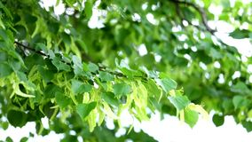 Δέντρο Linden στενό σε επάνω άνθισης απόθεμα βίντεο