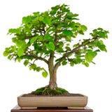 Δέντρο Linden ως μπονσάι σε ένα δοχείο Στοκ εικόνα με δικαίωμα ελεύθερης χρήσης