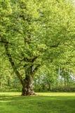 Δέντρο Linden Στοκ φωτογραφίες με δικαίωμα ελεύθερης χρήσης