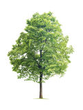 Δέντρο Linden Στοκ Εικόνα