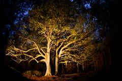 Δέντρο Linden Στοκ Εικόνες
