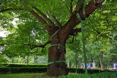 Δέντρο Linden Mihai Eminescu Στοκ φωτογραφία με δικαίωμα ελεύθερης χρήσης