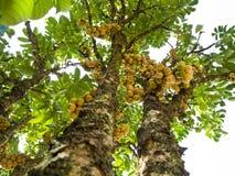 Δέντρο Longong Στοκ Εικόνες