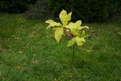 Δέντρο Magnolia Στοκ Εικόνα
