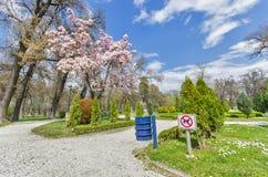Δέντρο Magnolia blosom και ΚΑΝΕΝΑ σημάδι ΣΚΥΛΙΩΝ Στοκ Φωτογραφία