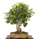 Δέντρο Malus της Apple ως μπονσάι με τα πράσινα φρούτα Στοκ φωτογραφία με δικαίωμα ελεύθερης χρήσης