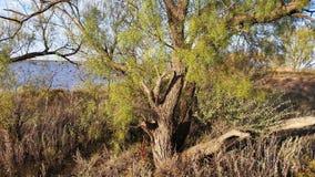 Δέντρο Mesquite με το χαμόκλαδο Στοκ εικόνα με δικαίωμα ελεύθερης χρήσης