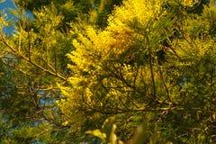 Δέντρο Mimosa Στοκ φωτογραφία με δικαίωμα ελεύθερης χρήσης