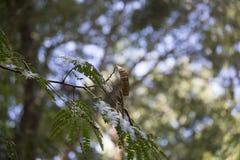 Δέντρο Mimosa Στοκ Φωτογραφία