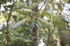 Δέντρο Mimosa Στοκ Εικόνα