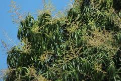 Δέντρο Mongo στοκ εικόνες