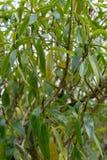 Δέντρο Mousehole, laetum myoporum από τη Νέα Ζηλανδία στοκ εικόνα με δικαίωμα ελεύθερης χρήσης