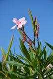 Δέντρο Oleander Στοκ Εικόνες