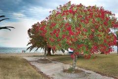 Δέντρο Oleander στοκ φωτογραφία με δικαίωμα ελεύθερης χρήσης