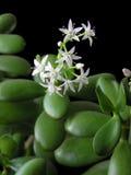 δέντρο ovata χρημάτων crassula στοκ εικόνες με δικαίωμα ελεύθερης χρήσης