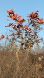 Δέντρο Palash Στοκ Εικόνες