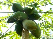 Δέντρο Paoaya και τα φρούτα Στοκ Φωτογραφίες
