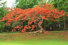 Δέντρο Peacock Στοκ Φωτογραφίες