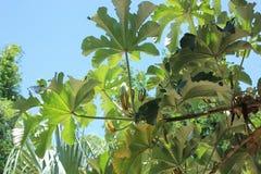 Δέντρο peltata Cecropia Στοκ εικόνες με δικαίωμα ελεύθερης χρήσης