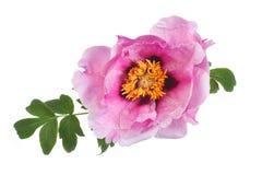 Δέντρο-Peony ρόδινο λουλούδι που απομονώνεται στο λευκό Στοκ Εικόνες