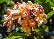 Δέντρο plumeria ανθών, τροπικά λουλούδια Plumeria, Μαδέρα, Portu Στοκ φωτογραφίες με δικαίωμα ελεύθερης χρήσης