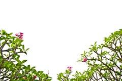 δέντρο plumeria κλάδων Στοκ Εικόνες