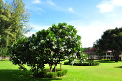 δέντρο plumeria λουλουδιών Στοκ Εικόνες