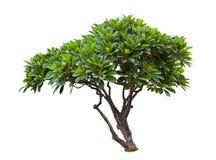 Δέντρο Plumeria που απομονώνεται Στοκ Φωτογραφία