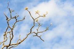 Δέντρο Plumeria χωρίς φύλλο στο υπόβαθρο ουρανού Στοκ Εικόνα