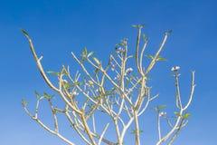 Δέντρο Plumeria Στοκ Φωτογραφία