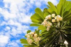 Δέντρο Plumeria Στοκ φωτογραφία με δικαίωμα ελεύθερης χρήσης