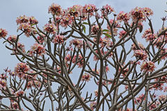 Δέντρο Plumeria Στοκ Εικόνες