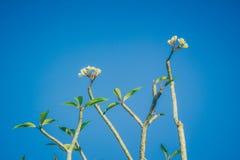Δέντρο Plumeria Στοκ Εικόνα