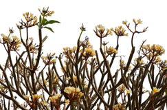 Δέντρο Plumeria, Frangipani, δέντρο ναών Στοκ Εικόνες