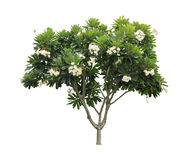 Δέντρο Plumeria (frangipani) που απομονώνεται στο άσπρο υπόβαθρο Στοκ Φωτογραφίες