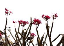 Δέντρο Plumeria, Frangipani Στοκ φωτογραφία με δικαίωμα ελεύθερης χρήσης