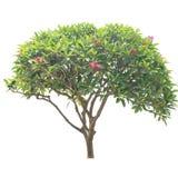 Δέντρο Plumeria (frangipani), ntal εγκαταστάσεις Orname της Ταϊλάνδης, δέντρο ι Στοκ φωτογραφία με δικαίωμα ελεύθερης χρήσης