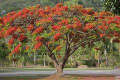 Δέντρο Poinciana Στοκ φωτογραφία με δικαίωμα ελεύθερης χρήσης
