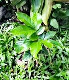 Δέντρο Rambutan στοκ εικόνα
