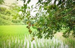 Δέντρο rambutan Στοκ Φωτογραφίες