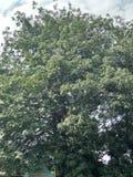 Δέντρο Randus Στοκ εικόνες με δικαίωμα ελεύθερης χρήσης