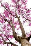 Δέντρο Redbud στην άνοιξη Στοκ Εικόνα