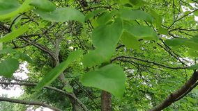 Δέντρο Redbud το καλοκαίρι του Κάνσας απόθεμα βίντεο