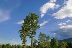 Δέντρο Roxb tuberculatus Dipterocarpus στη βόρεια Ταϊλάνδη στοκ φωτογραφία