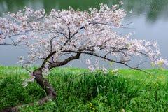 Δέντρο Sakura εκτός από τον ποταμό Στοκ Εικόνες