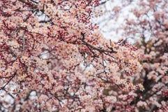 Δέντρο Sakura στο πάρκο Στοκ φωτογραφίες με δικαίωμα ελεύθερης χρήσης