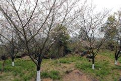 Δέντρο Sakura στο tianzhushan βουνό Στοκ Φωτογραφίες