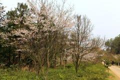 Δέντρο Sakura την άνοιξη Στοκ Εικόνα